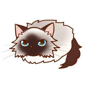 まんじゅうバーマン全身A-Manjyu cat birman whole body A-