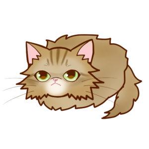 まんじゅうペルシャチンチラゴールデン全身A-Manjyu cat persian-chinchilla-golden whole body A-