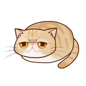 まんじゅうエキゾチッククリームタビー全身A-Manjyu cat exotic-creamtabby whole body A-